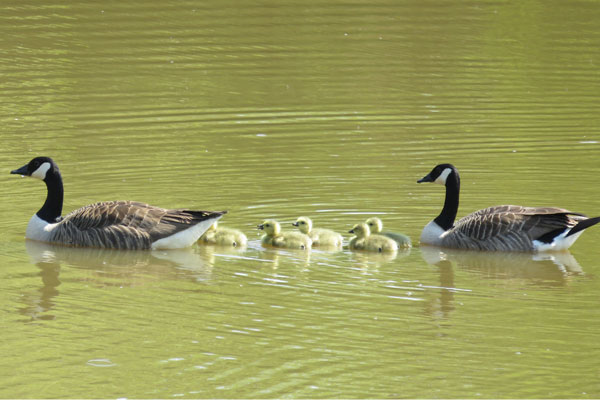 Canada Geese Family at Frogmary Green Farm